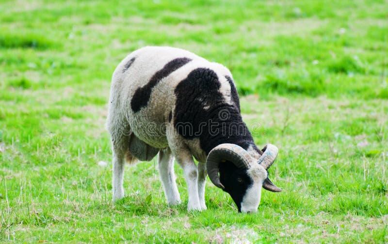 Einsame Schafe lizenzfreie stockbilder