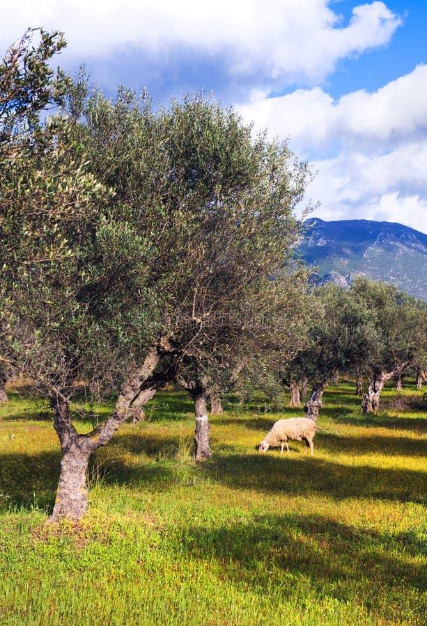 Einsame Schafe auf dem Olivenbaumgebiet stockfotos