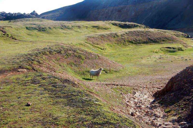 Einsame Schafe im Tal Landmannalaugar stockbilder