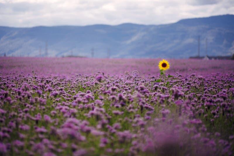 Einsame Sonnenblume auf dem Gebiet stockbilder