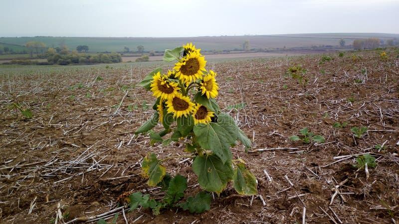 Einsame Sonnenblume nach Ernte stockfotografie