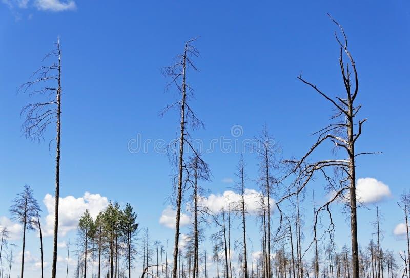 Einsame Stämme von alten trockenen Koniferenbäumen gegen den blauen Himmel stockbild
