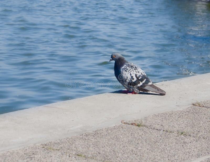 Einsame Taube auf dem Damm lizenzfreie stockbilder