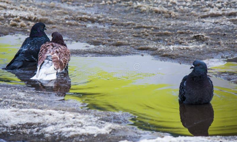 Einsame Taube, die ein Paar aufpasst lizenzfreies stockfoto