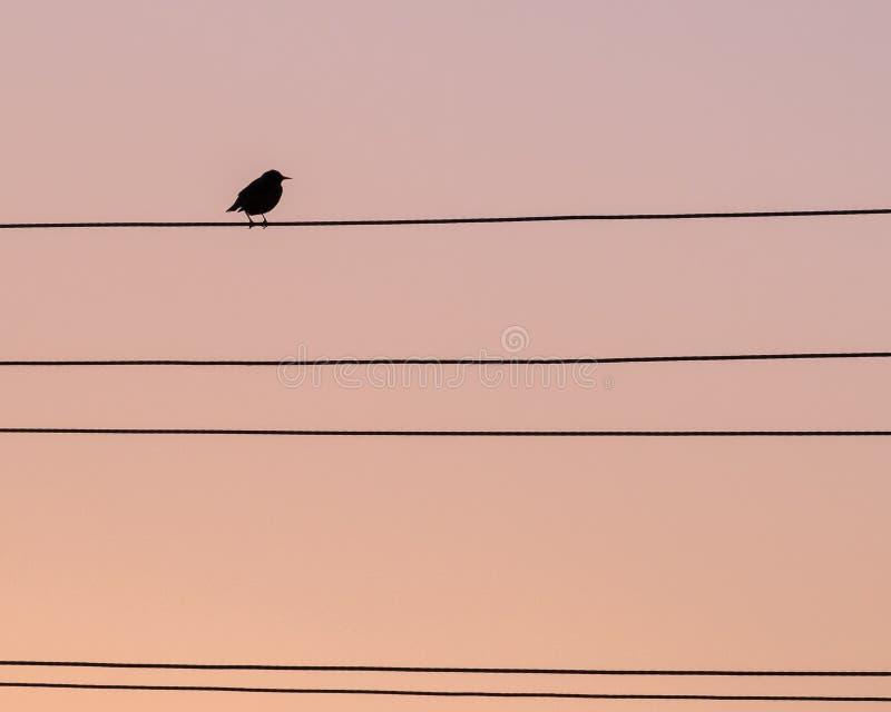 Einsame Vogeldrossel auf dem Draht lizenzfreies stockfoto