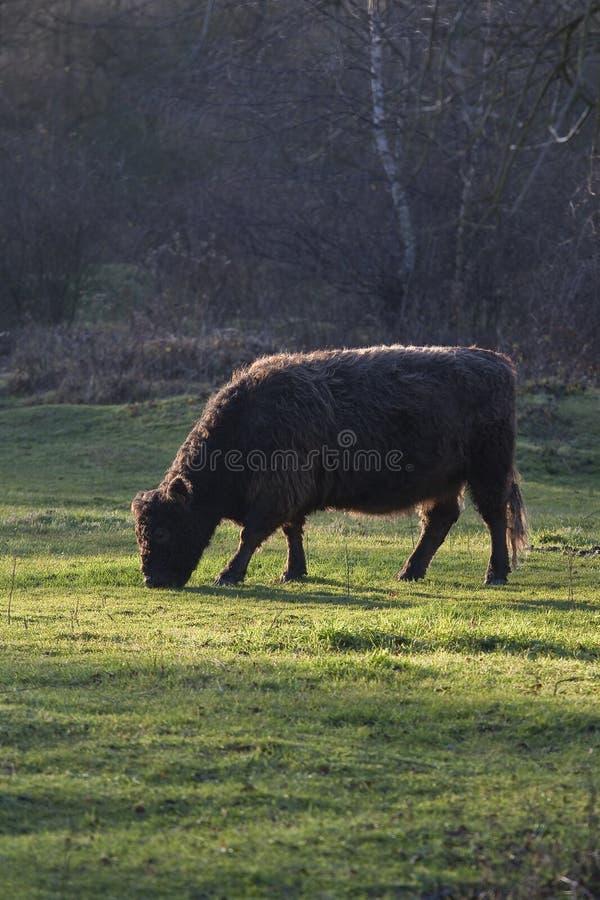 Einsame wilde Galloway-Kuh, die in der Natur weiden lässt stockfotografie