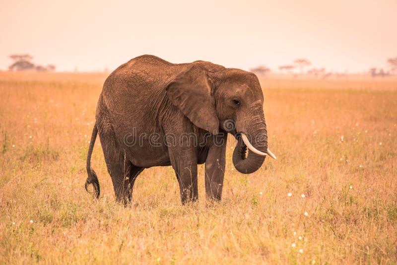 Einsamer afrikanischer Elefant in der Savanne von Serengeti bei Sonnenuntergang Akazienb?ume auf den Ebenen in Nationalpark Seren lizenzfreies stockbild