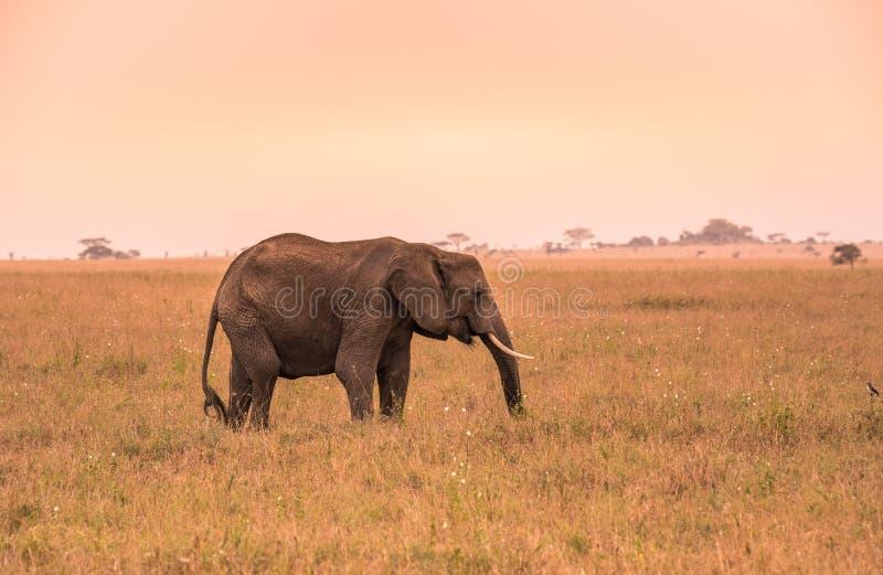 Einsamer afrikanischer Elefant in der Savanne von Serengeti bei Sonnenuntergang Akazienb?ume auf den Ebenen in Nationalpark Seren lizenzfreie stockfotografie