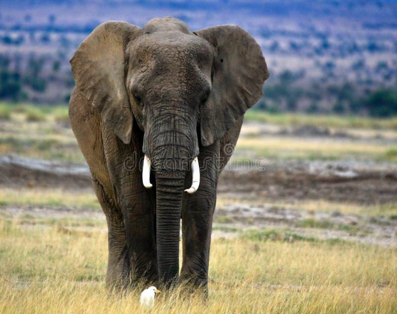 Einsamer afrikanischer Elefant mit Viehreiher stockbilder