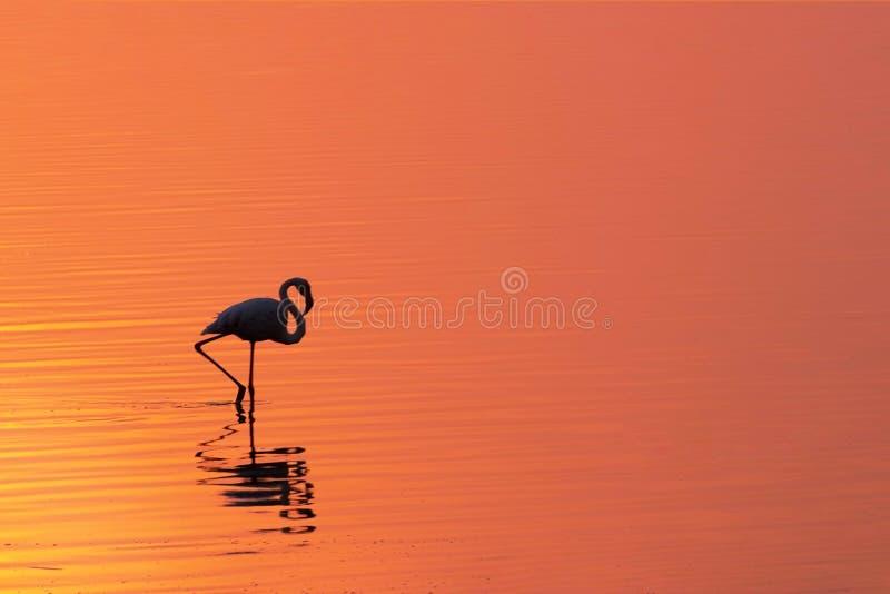 Einsamer afrikanischer Flamingo-Vogel gegen einen hellen Sonnenuntergang stockfoto