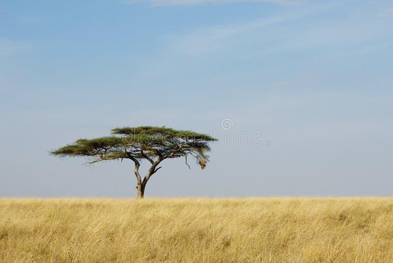 Einsamer Akazienbaum in Serengeti stockfotos