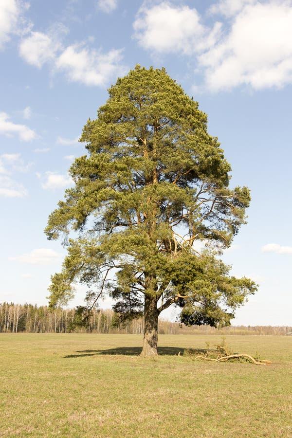 Einsamer Baum auf dem Feld stockfotos
