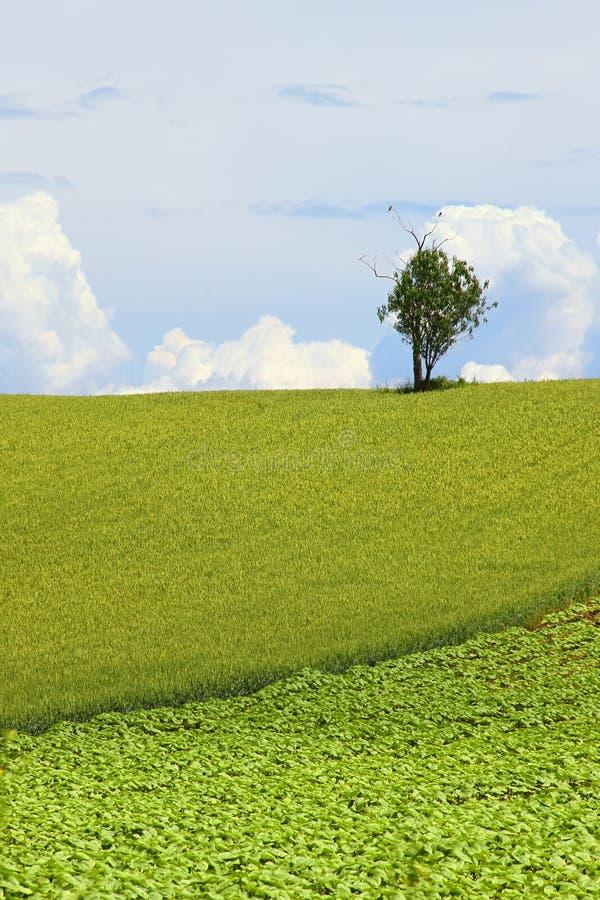 Einsamer Baum auf dem Gebiet stockfoto