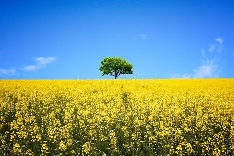 Einsamer Baum auf dem gelben Rapssamen-Gebiet stockfotos