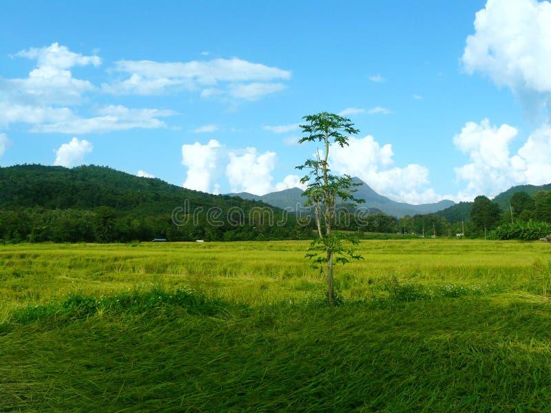 Einsamer Baum auf einem grünen Reisgebiet stockfotografie