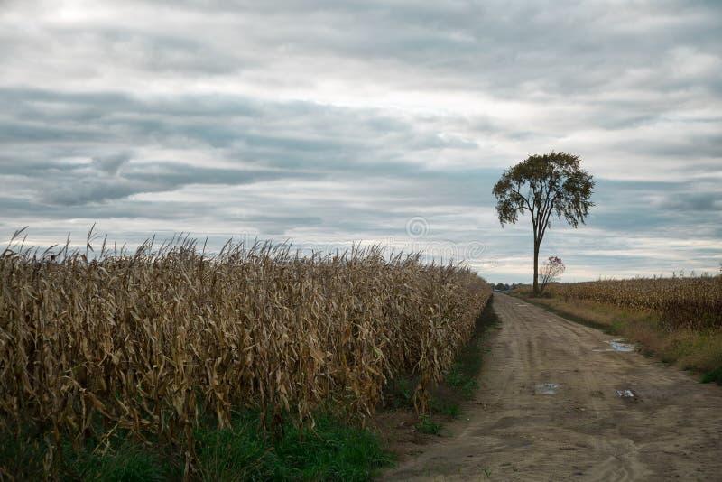 Einsamer Baum auf einem Maisgebiet lizenzfreies stockbild