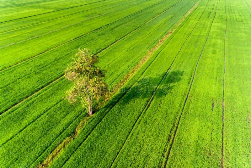 Einsamer Baum im Reisgrün-Feldmuster von der Draufsicht stockbilder