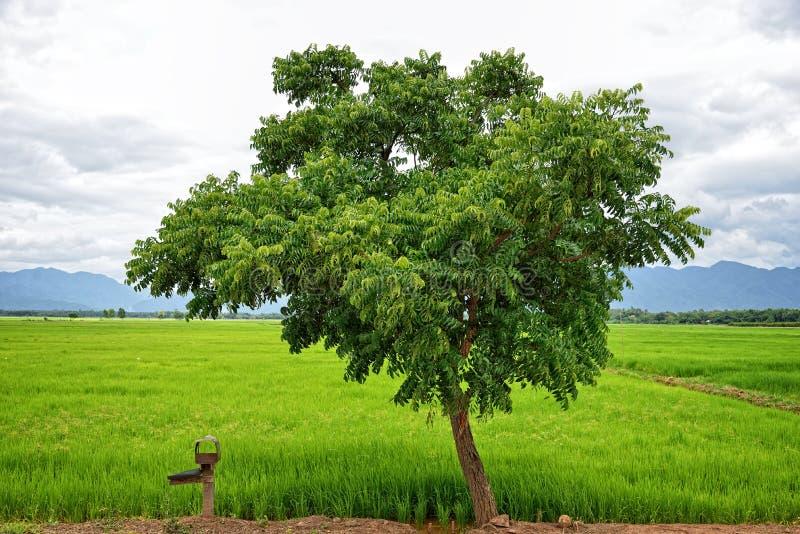 Einsamer Baum am Reisfeld lizenzfreie stockfotos