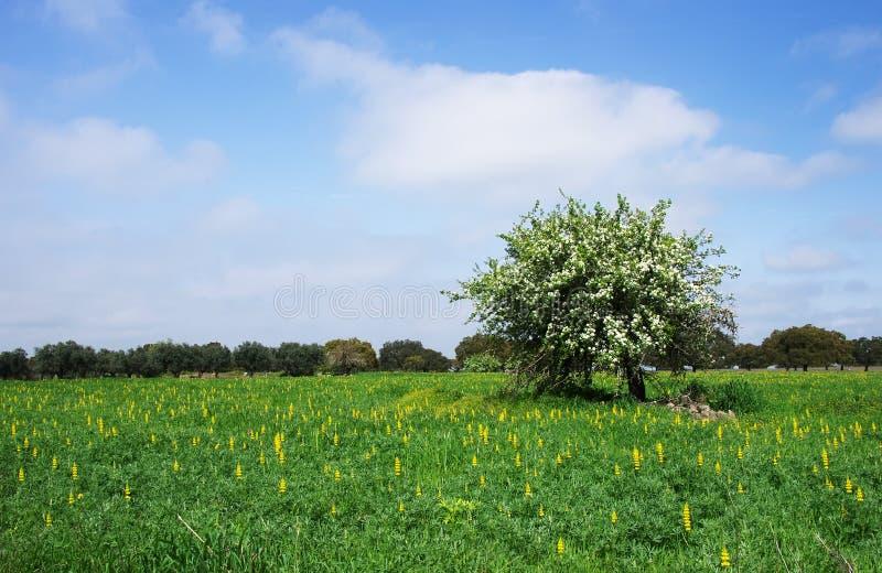 Einsamer Birnenbaum in voller Blüte auf Feld lizenzfreie stockfotos