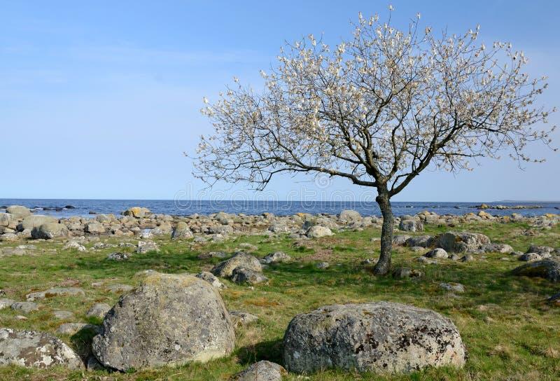 Einsamer blühender Baum lizenzfreies stockbild
