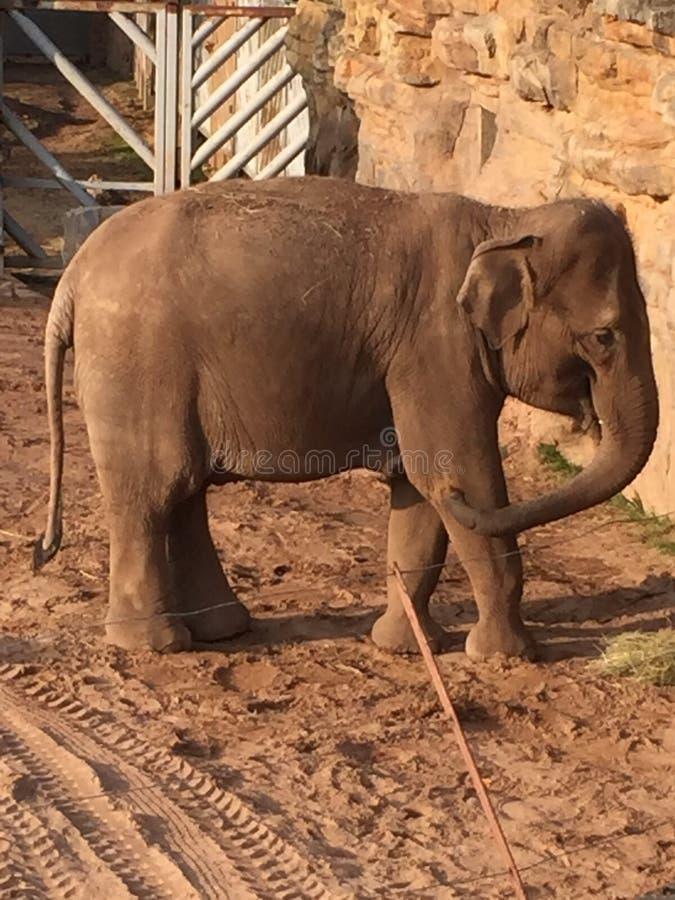 Einsamer Elefant lizenzfreie stockbilder