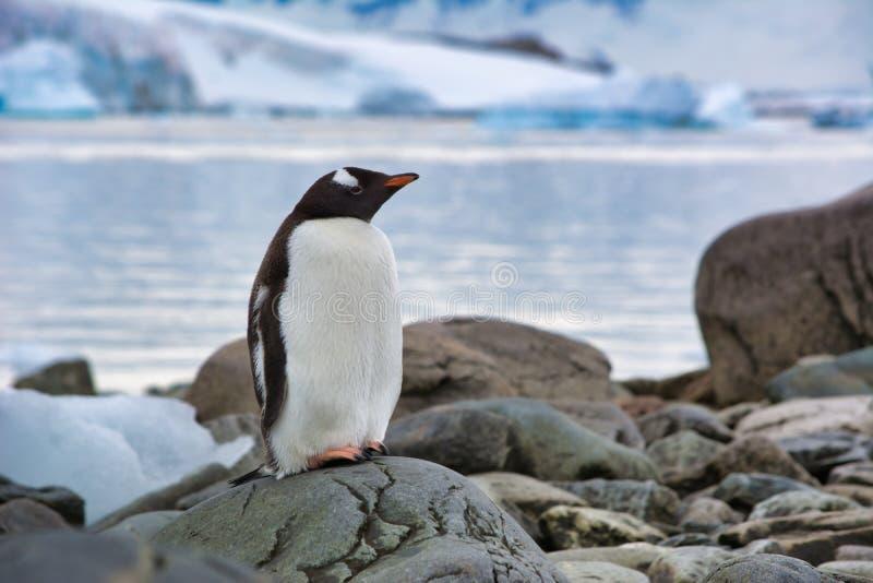 Einsamer Gentoo-Pinguin, der auf dem Strand in der Antarktis stillsteht stockfotos