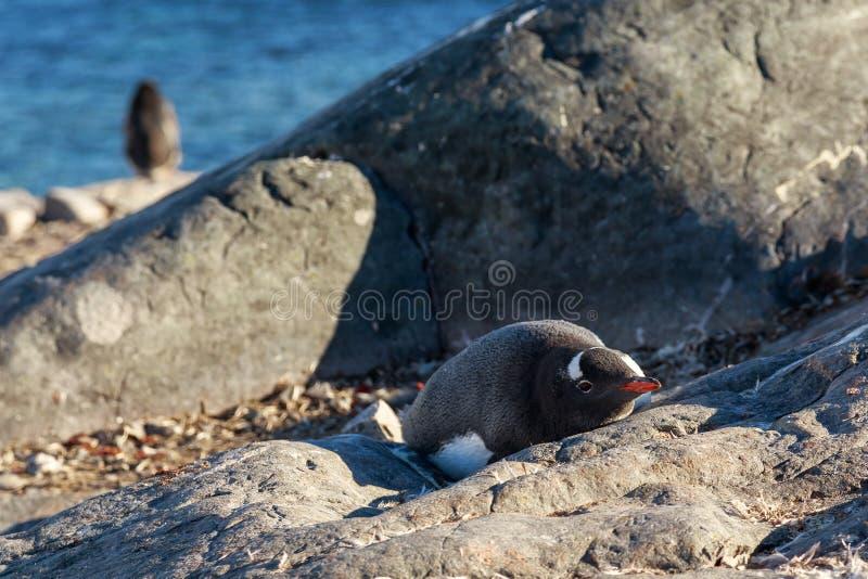 Einsamer gentoo Pinguin, der auf den Steinen, Cuverville Islan ein Sonnenbad nimmt lizenzfreies stockbild