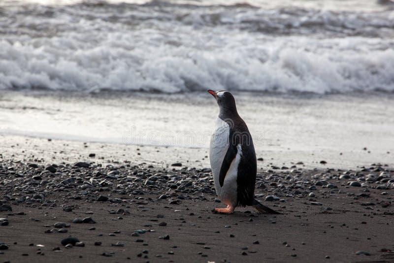 Einsamer Gentoo-Pinguin, der auf den Strand gegen Ozean steht stockfoto