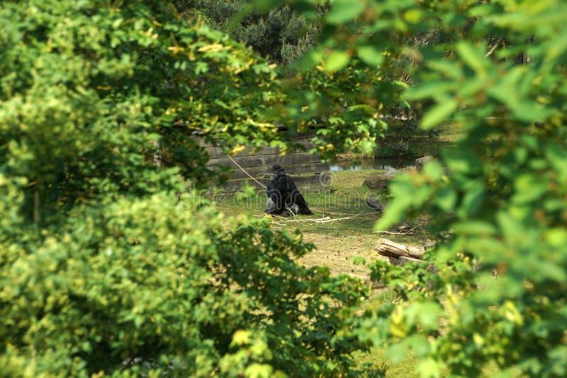 Einsamer Gorilla mit einem Zweig in seinem Mund lizenzfreie stockbilder