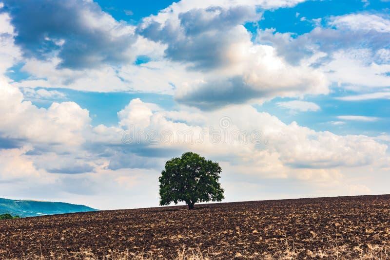 Einsamer grüner Baum auf einem gepflogenen Bauernhoffeld stockfotografie