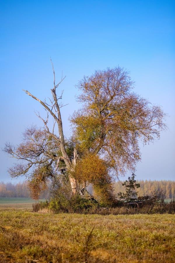 einsamer Herbstbaum in der Mitte des leeren Feldes lizenzfreies stockbild