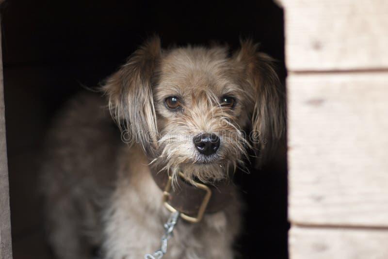 Einsamer Hund, der aus seiner Hundehütte heraus überwacht Kleiner trauriger Hund auf der Kette, die im Stand sitzt lizenzfreie stockfotos