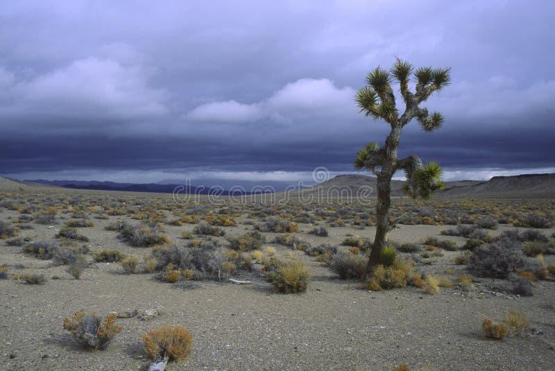 Einsamer Joshua-Baum in der Mojavewüste lizenzfreie stockfotos
