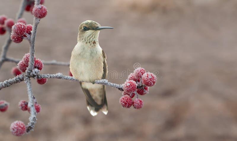 Einsamer jugendlicher männlicher Kolibri auf einem eisigen stockbilder