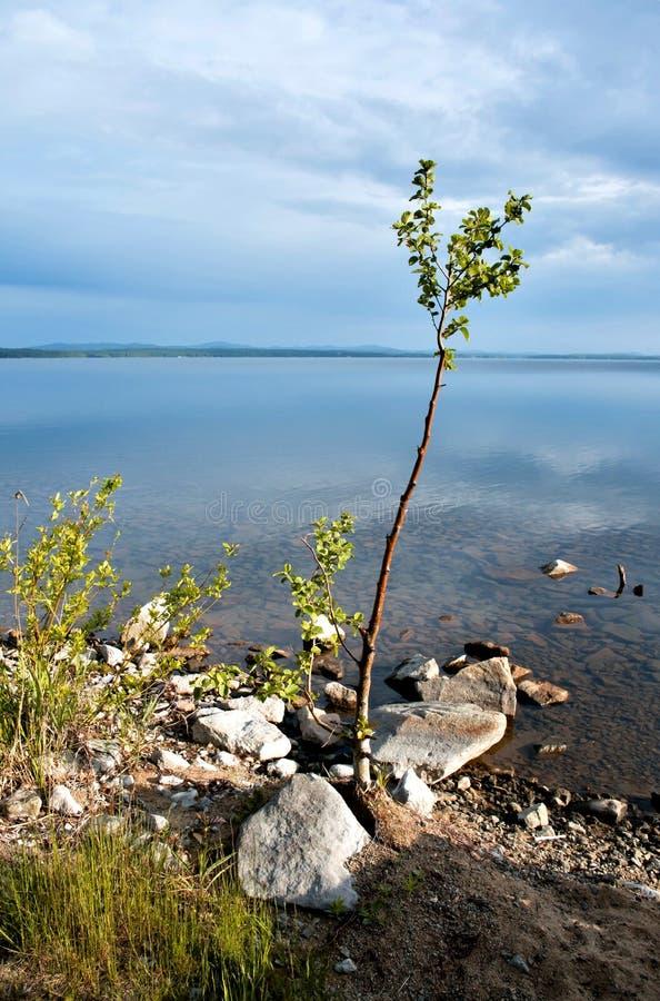 Einsamer junger Baum auf dem Ufer des Sees lizenzfreies stockfoto