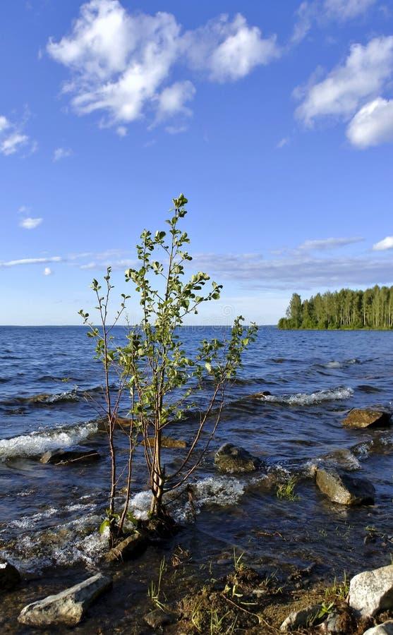 Einsamer junger Baum auf dem Ufer des Sees lizenzfreies stockbild