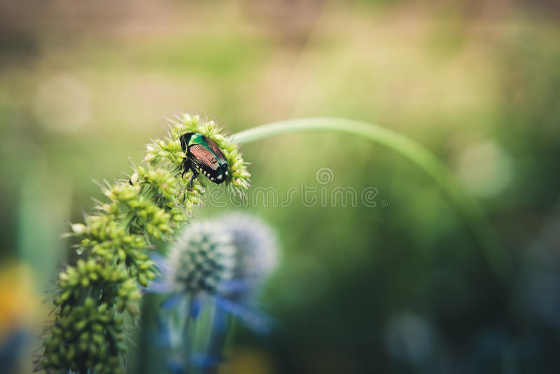 Einsamer Käfer lizenzfreies stockfoto