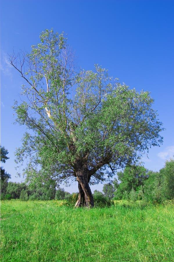 Einsamer Weidebaum, alt und kräftig stockbilder