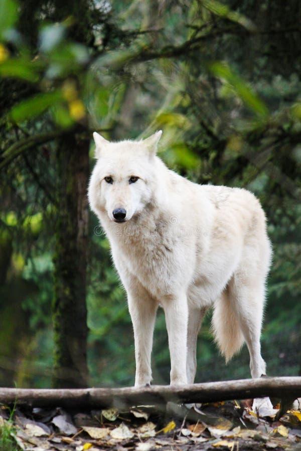 Einsamer Wolf lizenzfreie stockbilder