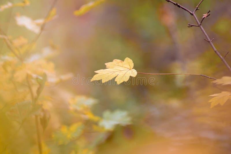 Einsames Ahornblatt auf einer Niederlassung im Herbstwald auf einem undeutlichen background_ lizenzfreie stockfotos