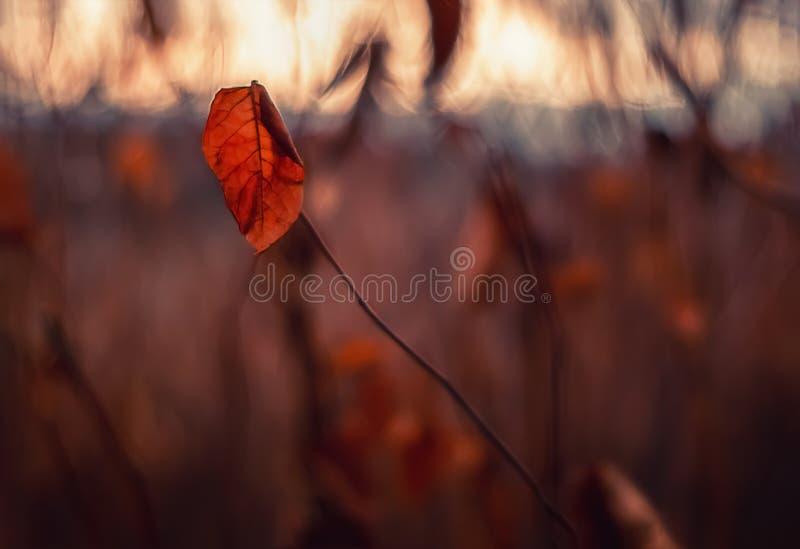 Einsames Blatt glüht am Herbstabend stockfotos
