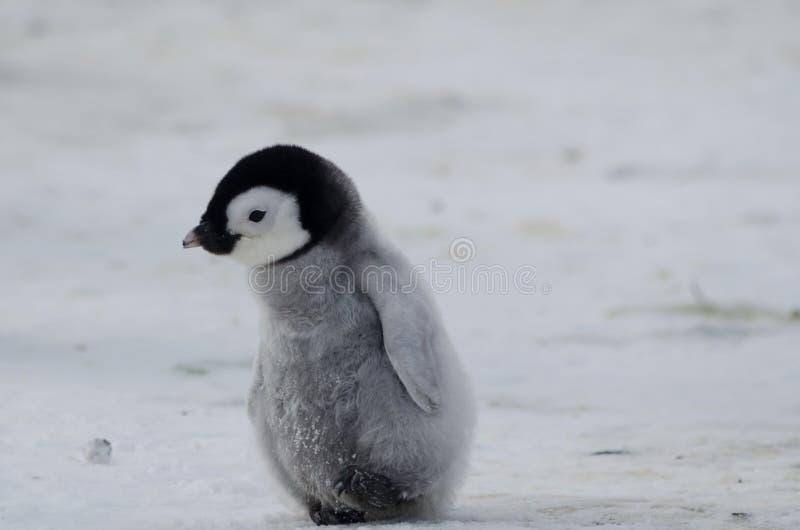 Einsames Kaiser-Pinguinküken stockfotografie
