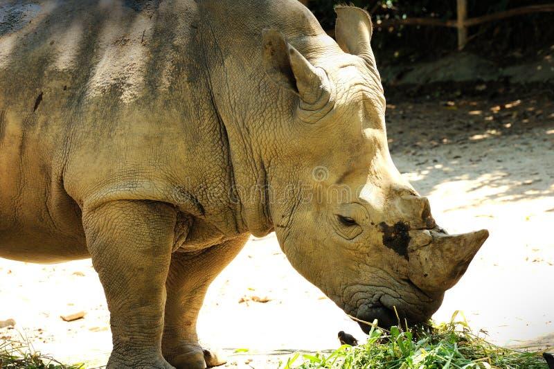 Einsames Nashorn stockbilder