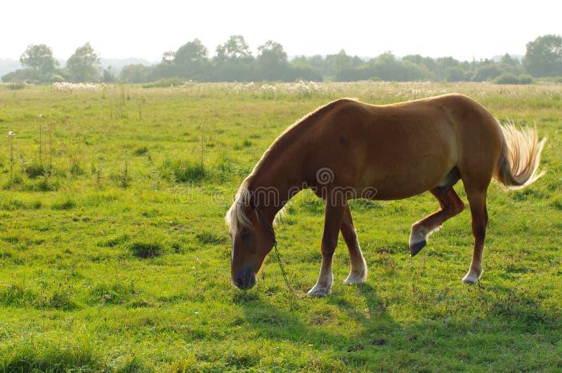 Einsames Pferd wird auf einer grünen Wiese weiden lassen lizenzfreie stockfotografie
