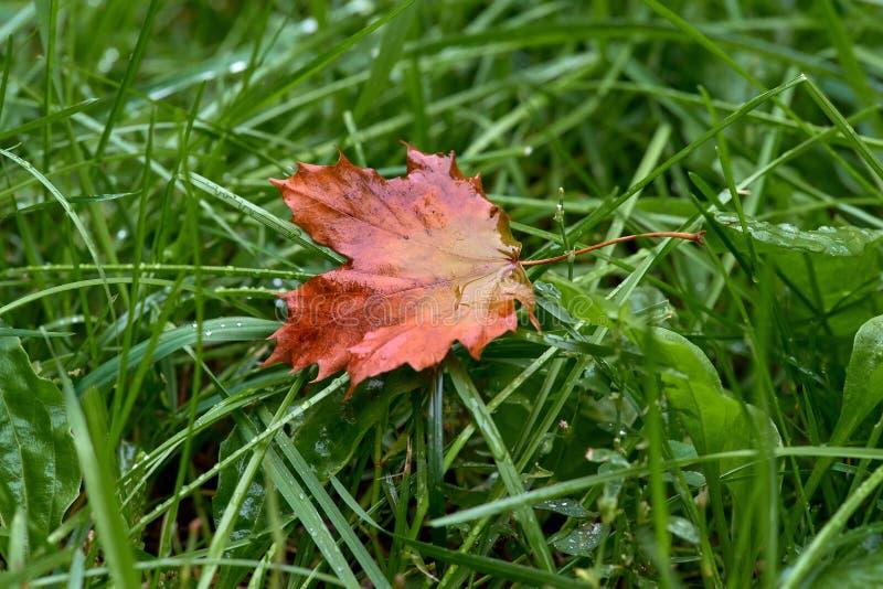 Einsames Rotahornblatt, das im gr?nen Gras na? vom Morgentau liegt Nahaufnahme Sch?nes nat?rliches bokeh Erstes Zeichen des Herbs stockbilder
