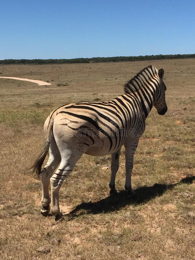 Einsames Zebra lizenzfreie stockfotografie