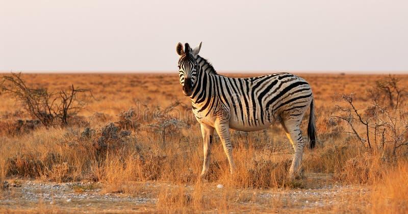 Einsames Zebra in der afrikanischen Savanne lizenzfreie stockfotos