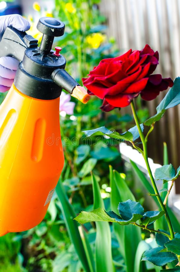 Einsatz von Pestiziden gegen Schädlinge und Krankheiten bei Rosen stockfotografie