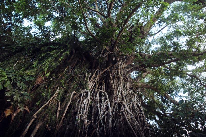 Einschnürender Feigenbaum Balete lizenzfreie stockfotos