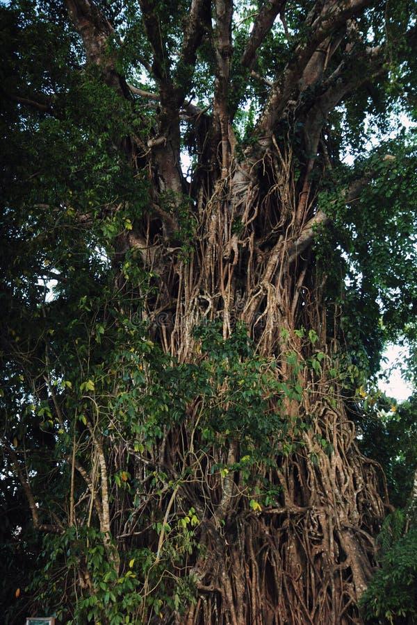 Einschnürender Feigenbaum Balete stockbild